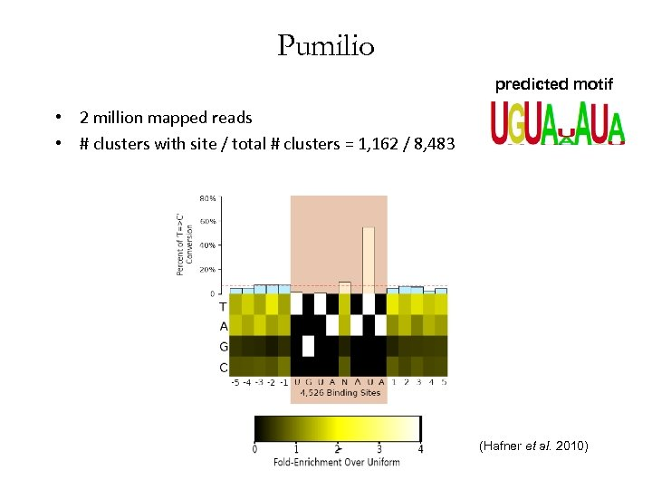 Pumilio predicted motif • 2 million mapped reads • # clusters with site /