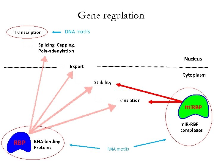 Gene regulation Transcription DNA motifs Splicing, Capping, Poly-adenylation Nucleus Export Cytoplasm Stability Translation mi.