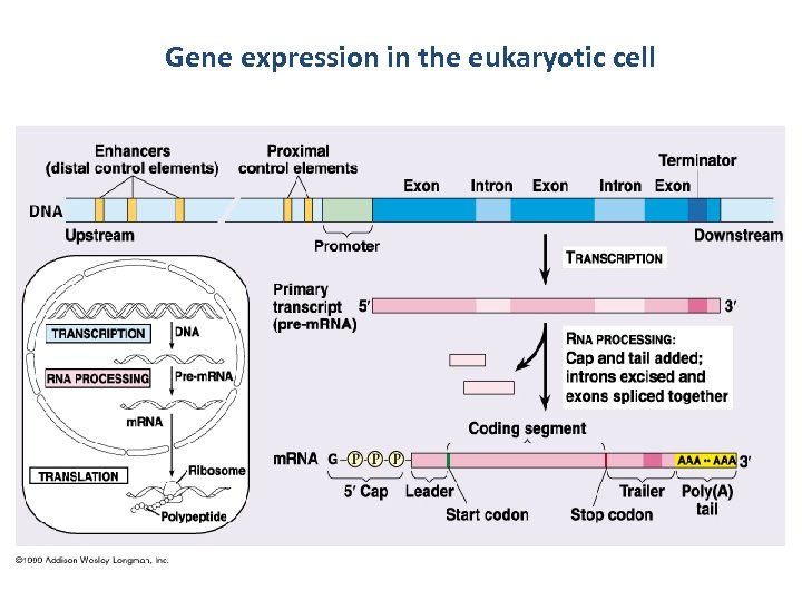 Gene expression in the eukaryotic cell