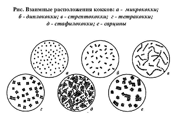 Рис. Взаимные расположения кокков: а - микрококки; б - диплококки; в - стрептококки; г