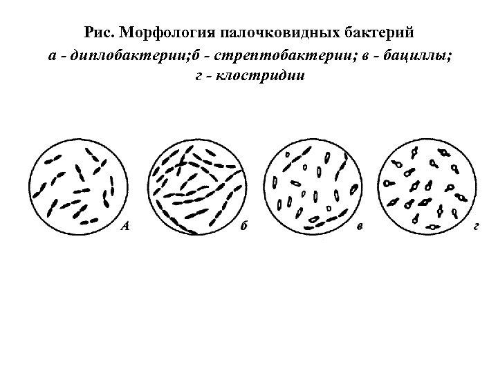 Рис. Морфология палочковидных бактерий а - диплобактерии; б - стрептобактерии; в - бациллы; г