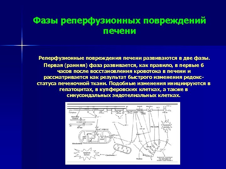 Фазы реперфузионных повреждений печени Реперфузионные повреждения печени развиваются в две фазы. Первая (ранняя) фаза