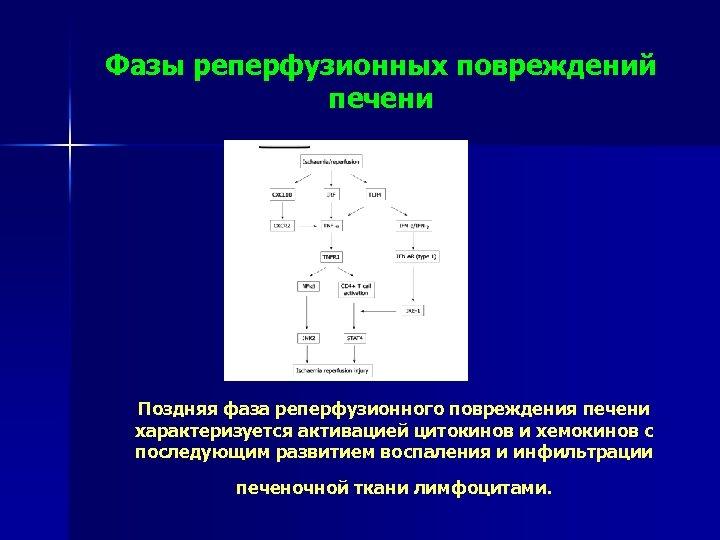 Фазы реперфузионных повреждений печени Поздняя фаза реперфузионного повреждения печени характеризуется активацией цитокинов и хемокинов