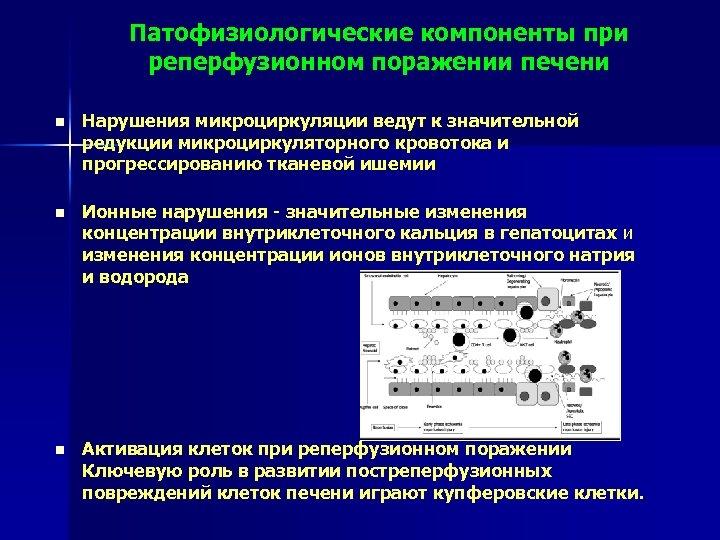 Патофизиологические компоненты при реперфузионном поражении печени n Нарушения микроциркуляции ведут к значительной редукции микроциркуляторного