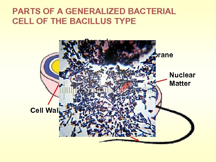 PARTS OF A GENERALIZED BACTERIAL CELL OF THE BACILLUS TYPE Capsule Cell Membrane Nuclear