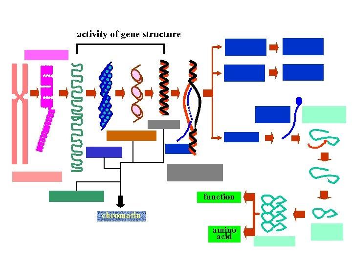 activity of gene structure function chromatin amino acid