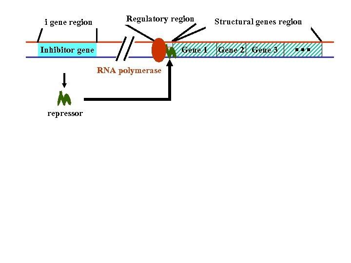 i gene region Inhibitor gene Regulatory region p O Gene 1 RNA polymerase repressor
