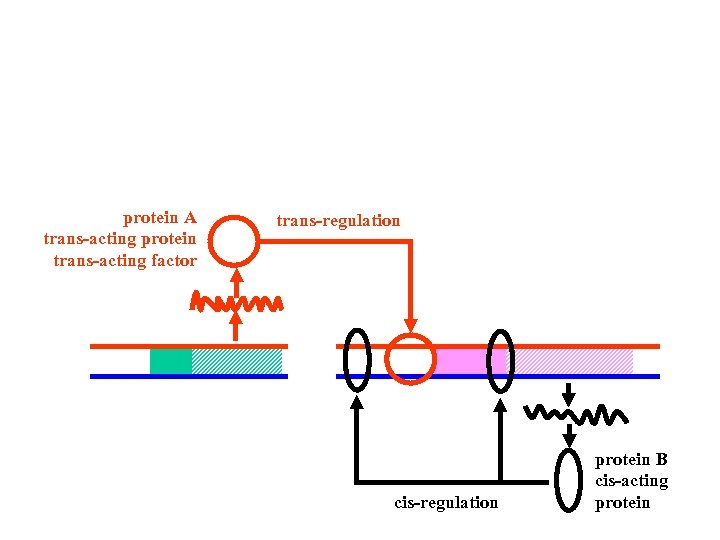 protein A trans-acting protein trans-acting factor trans-regulation cis-regulation protein B cis-acting protein