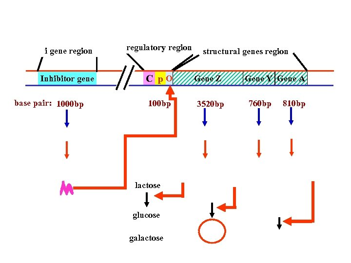 i gene region regulatory region Inhibitor gene C p. O base pair: 1000 bp