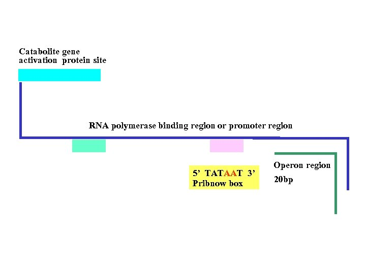 Catabolite gene activation protein site RNA polymerase binding region or promoter region 5' TATAAT