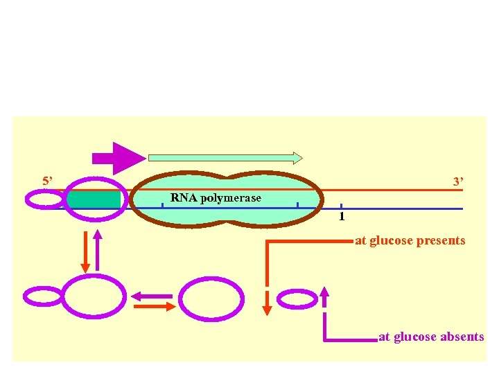 5' 3' RNA polymerase 1 at glucose presents at glucose absents