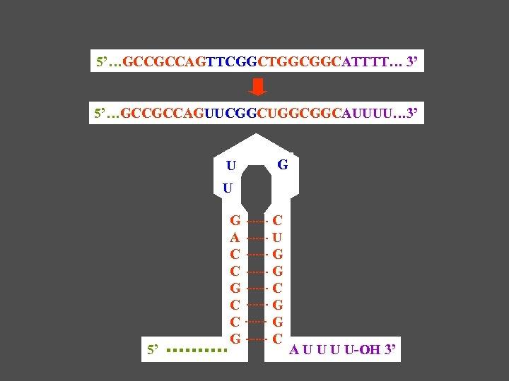 5'…GCCGCCAGTTCGGCTGGCGGCATTTT… 3' 5'…GCCGCCAGUUCGGCUGGCGGCAUUUU… 3' U G U 5' G A C C G C