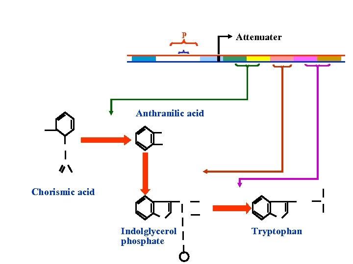 p Attenuater Anthranilic acid Chorismic acid Indolglycerol phosphate Tryptophan