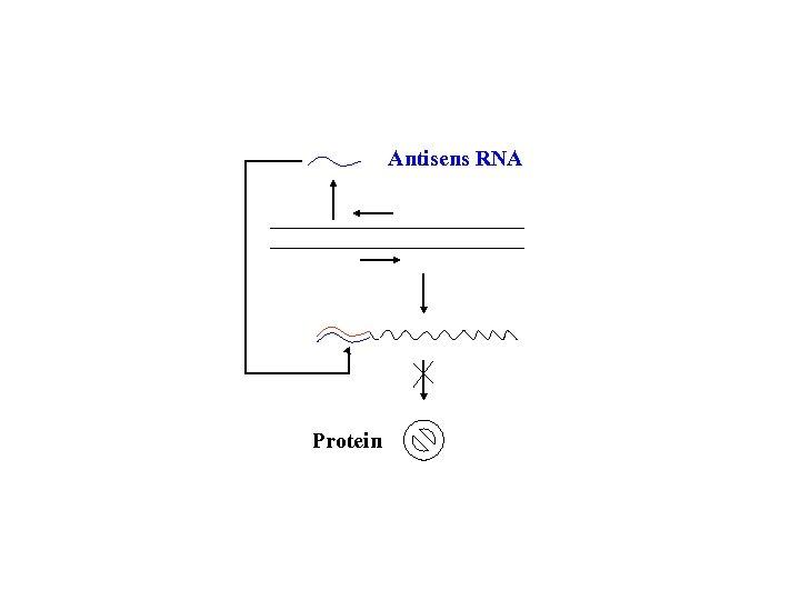 Antisens RNA Protein