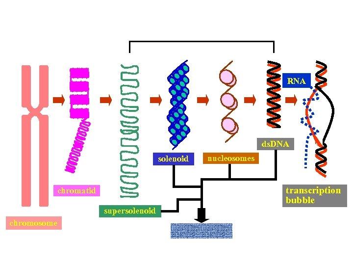 RNA ds. DNA solenoid transcription bubble chromatid supersolenoid chromosome nucleosomes