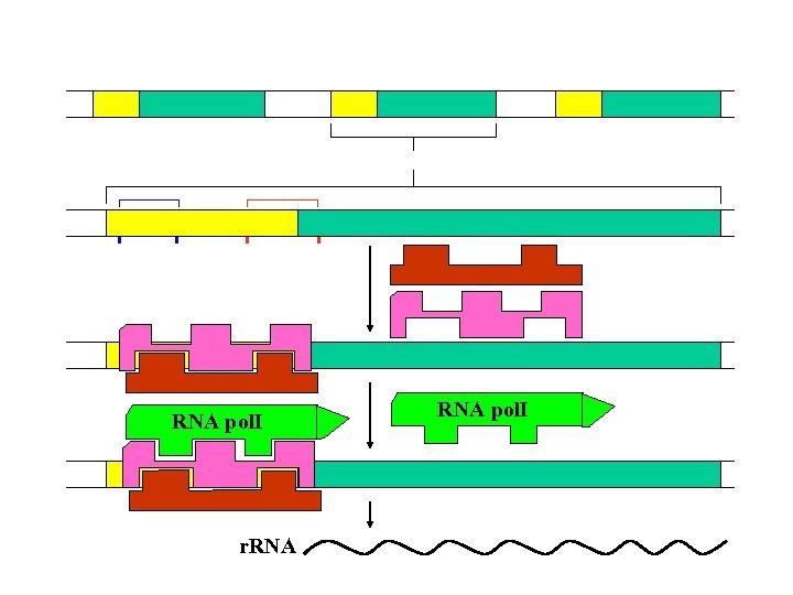 RNA polⅠ r. RNA polⅠ