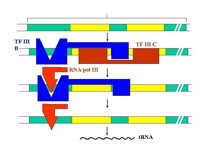TF Ⅲ B TF Ⅲ C RNA pol Ⅲ t. RNA