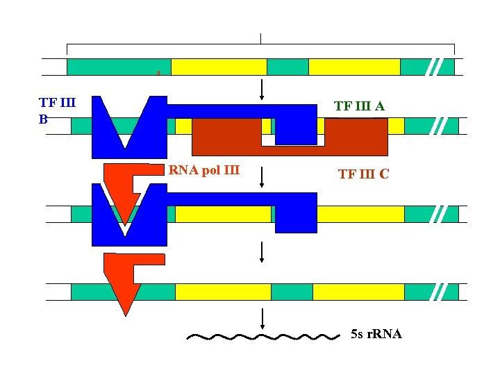 TF Ⅲ B TF Ⅲ A RNA pol Ⅲ TF Ⅲ C 5 s
