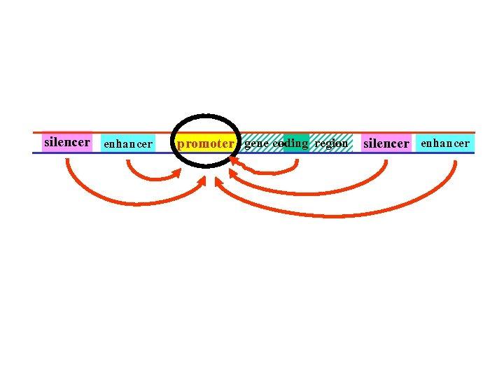 silencer enhancer promoter gene coding region silencer enhancer