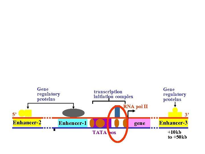 Gene regulatory proteins transcription initiation complex RNA pol II 5' Enhancer-2 3' Enhencer-1 gene