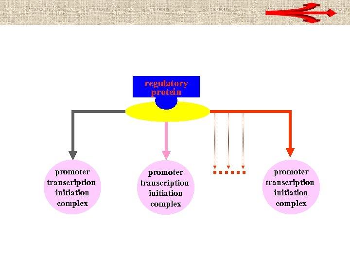 regulatory protein promoter transcription initiation complex