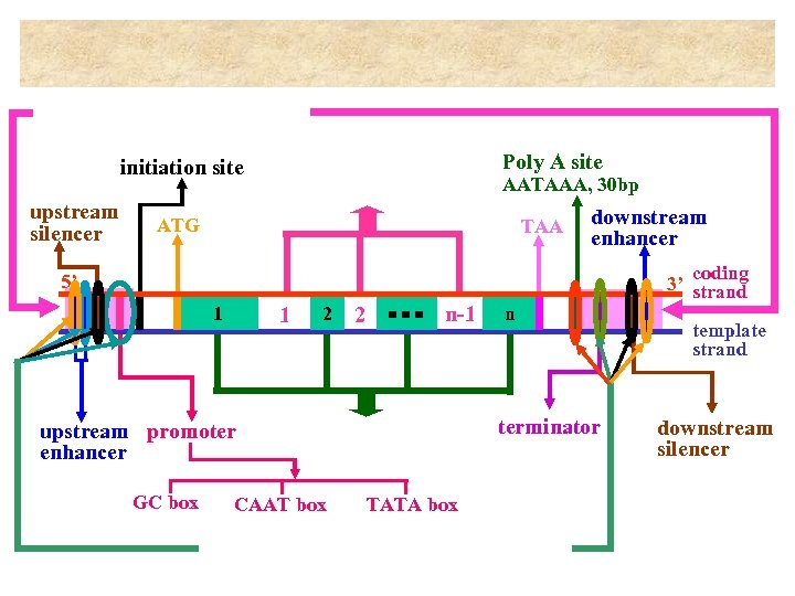 Poly A site initiation site upstream silencer AATAAA, 30 bp ATG TAA downstream enhancer