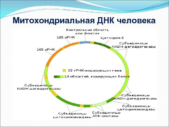 Митохондриальная ДНК человека