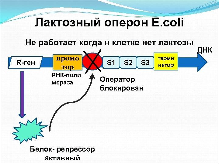 Лактозный оперон E. coli Не работает когда в клетке нет лактозы R-ген промо тор