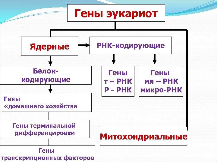 Гены эукариот Ядерные Белоккодирующие РНК-кодирующие Гены т – РНК Р - РНК Гены мя