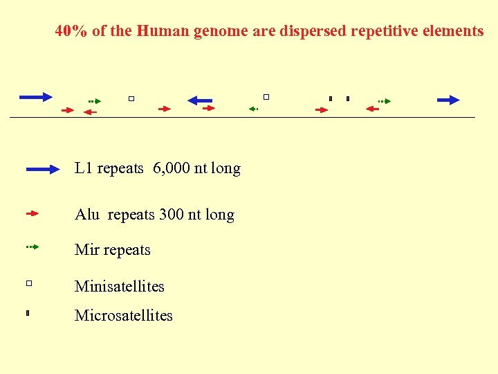 40% of the Human genome are dispersed repetitive elements L 1 repeats 6, 000