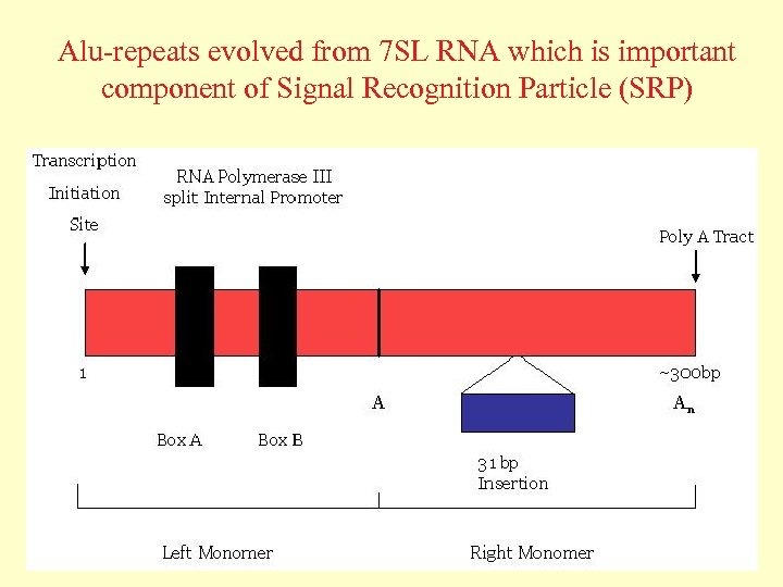 Alu-repeats evolved from 7 SL RNA which is important component of Signal Recognition Particle