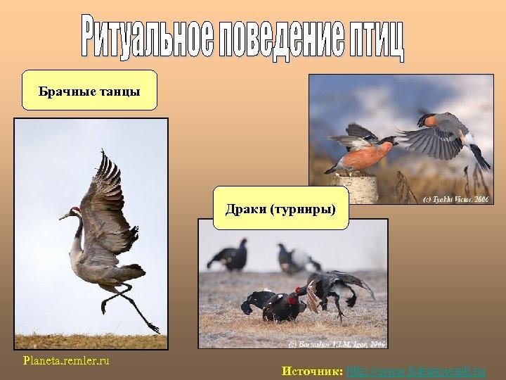 Брачные танцы Драки (турниры) Planeta. remler. ru Источник: http: //www. fotonovosti. ru