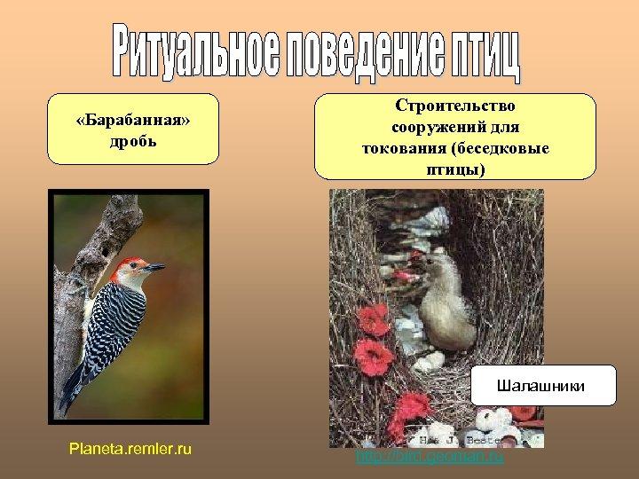 «Барабанная» дробь Строительство сооружений для токования (беседковые птицы) Шалашники Planeta. remler. ru http: