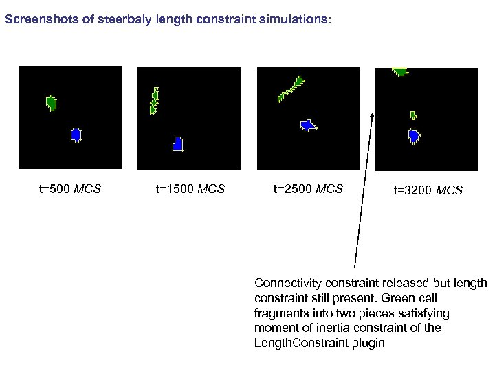 Screenshots of steerbaly length constraint simulations: t=500 MCS t=1500 MCS t=2500 MCS t=3200 MCS
