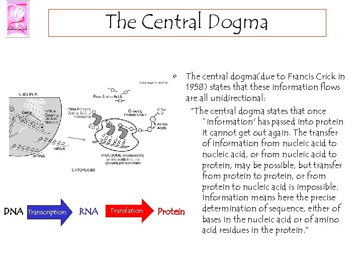 The Central Dogma DNA Transcription RNA Translation • The central dogma(due to Francis Crick
