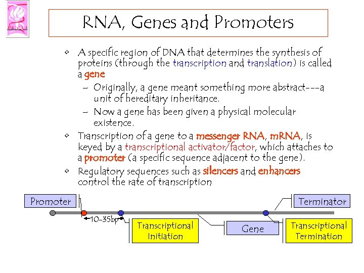 RNA, Genes and Promoters • A specific region of DNA that determines the synthesis