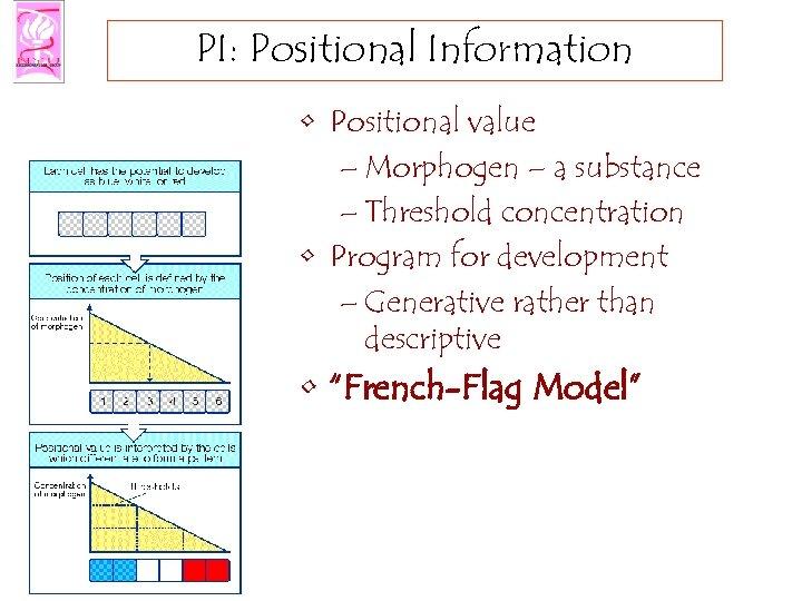 PI: Positional Information • Positional value – Morphogen – a substance – Threshold concentration