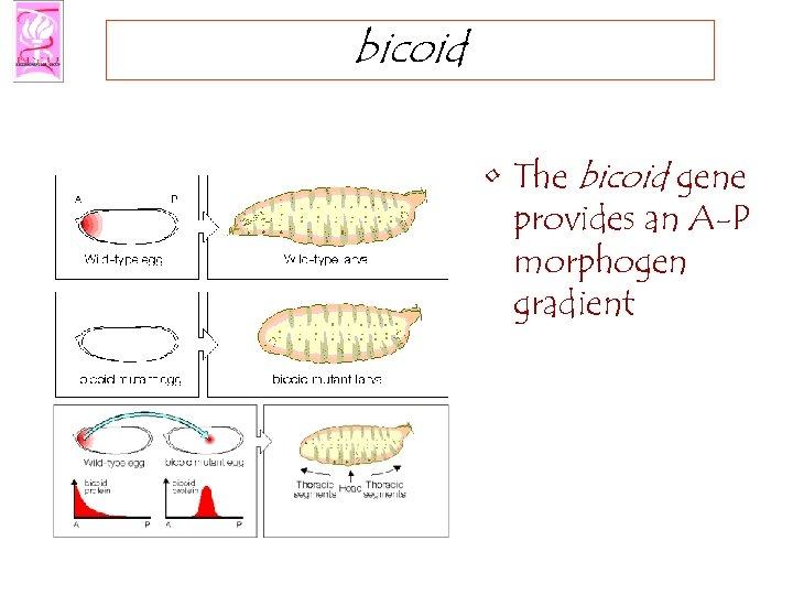 bicoid • The bicoid gene provides an A-P morphogen gradient