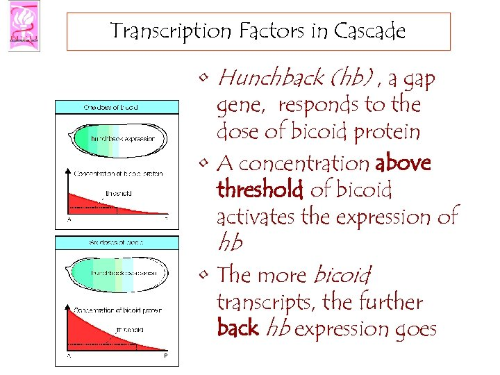 Transcription Factors in Cascade • Hunchback (hb) , a gap gene, responds to the