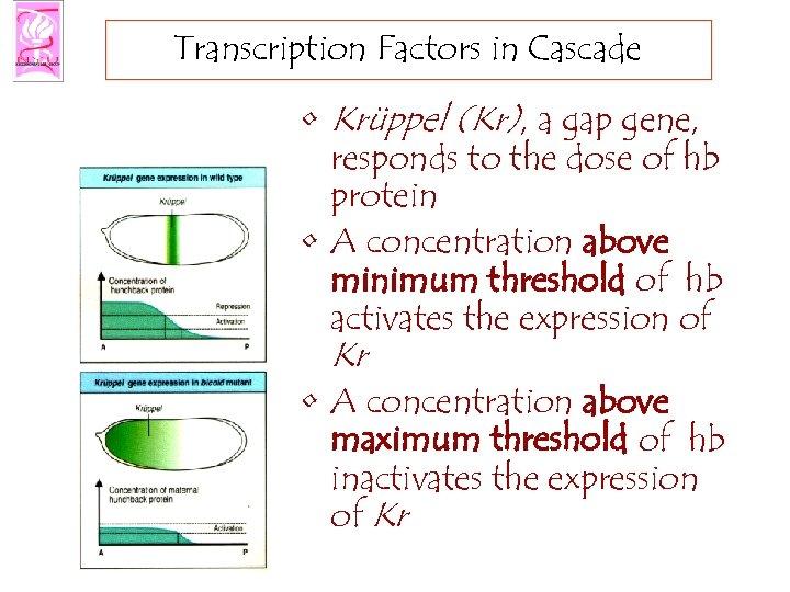 Transcription Factors in Cascade • Krüppel (Kr), a gap gene, responds to the dose