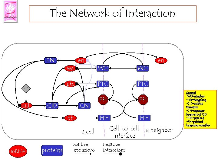 The Network of Interaction EN CID CN hh proteins WG positive interacions en PTC