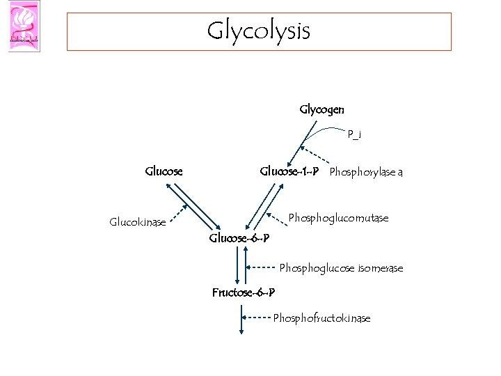 Glycolysis Glycogen P_i Glucose-1 -P Phosphorylase a Phosphoglucomutase Glucokinase Glucose-6 -P Phosphoglucose isomerase Fructose-6