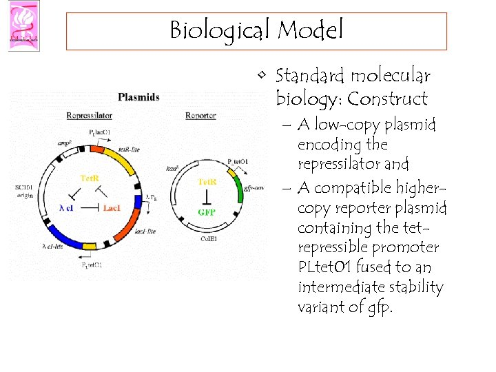 Biological Model • Standard molecular biology: Construct – A low-copy plasmid encoding the repressilator