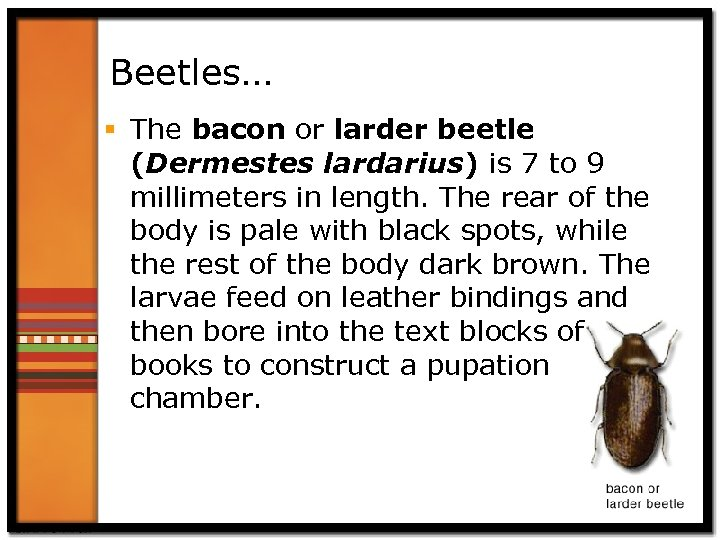 Beetles… § The bacon or larder beetle (Dermestes lardarius) is 7 to 9 millimeters