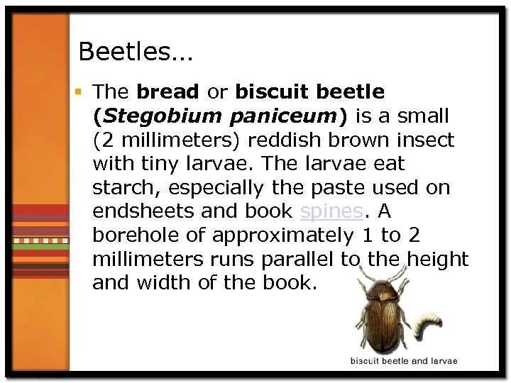 Beetles… § The bread or biscuit beetle (Stegobium paniceum) is a small (2 millimeters)