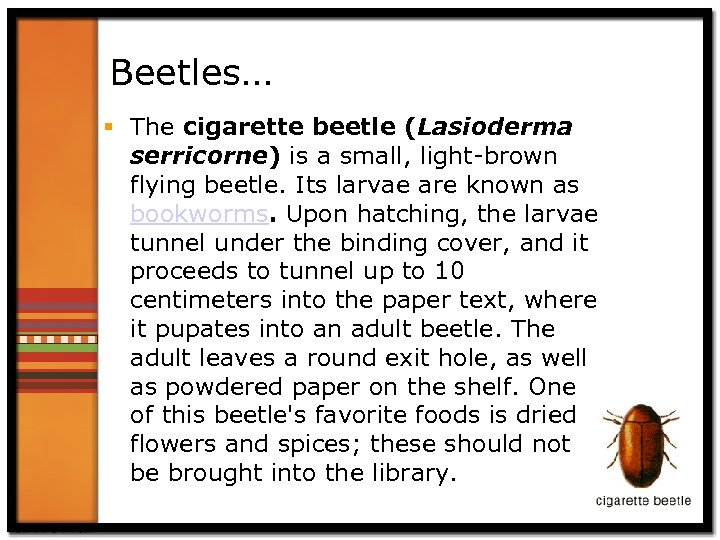Beetles… § The cigarette beetle (Lasioderma serricorne) is a small, light-brown flying beetle. Its