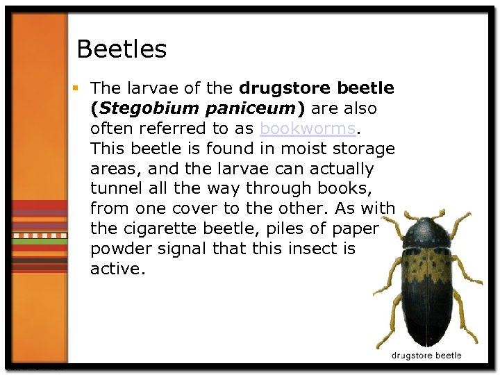 Beetles § The larvae of the drugstore beetle (Stegobium paniceum) are also often referred