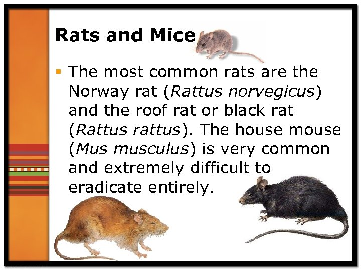Rats and Mice § The most common rats are the Norway rat (Rattus norvegicus)