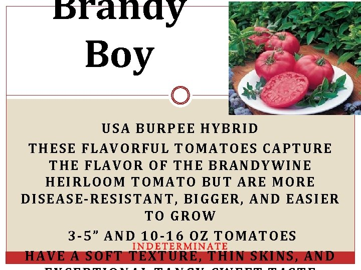 Brandy Boy USA BURPEE HYBRID THESE FLAVORFUL TOMATOES CAPTURE THE FLAVOR OF THE BRANDYWINE