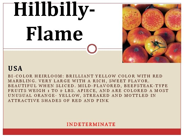 Hillbilly. Flame USA BI-COLOR HEIRLOOM: BRILLIANT YELLOW COLOR WITH RED MARBLING. VERY LARGE WITH
